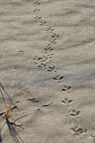 砂場に残る鳥の足跡の写真素材 [FYI01704698]