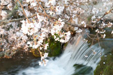 桜の写真素材 [FYI01704828]
