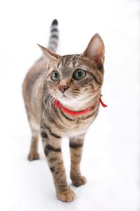 ポーズをとるネコの写真素材 [FYI01704848]
