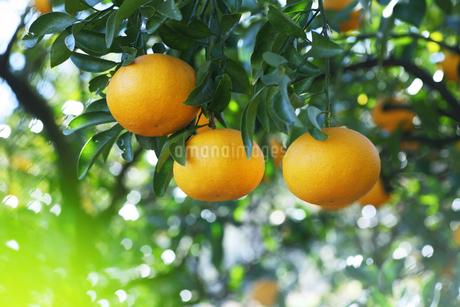 蜜柑の写真素材 [FYI01704862]