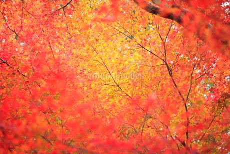 紅葉の写真素材 [FYI01704867]