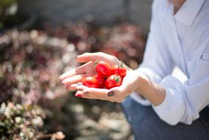トマトを持っている女性の手の写真素材 [FYI01705551]