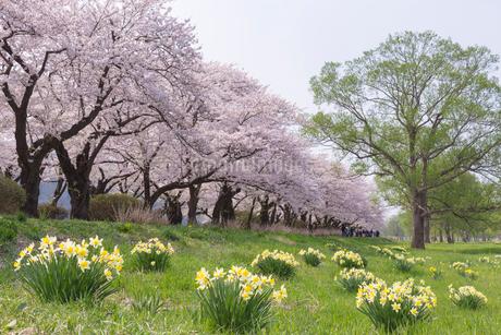 北上展勝地の桜並木の写真素材 [FYI01707770]