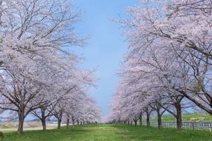水沢競馬場の桜並木の写真素材 [FYI01707804]