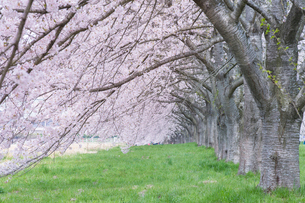 水沢競馬場の桜並木の写真素材 [FYI01708141]
