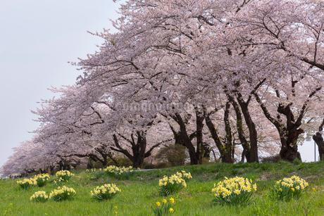 北上展勝地の桜並木の写真素材 [FYI01708278]