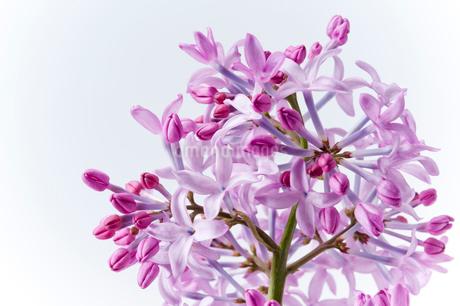 紫のライラックのアップの写真素材 [FYI01708554]