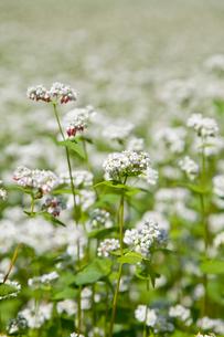 そばの花の写真素材 [FYI01708627]