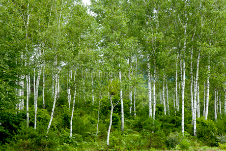 白樺林の写真素材 [FYI01708648]