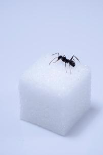 角砂糖と蟻の写真素材 [FYI01708700]