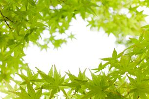 見上げた新緑楓の額縁の写真素材 [FYI01708752]