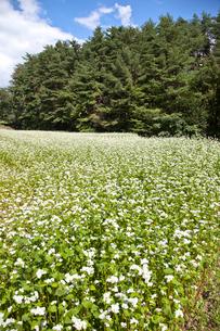 そば畑と山林の写真素材 [FYI01708760]