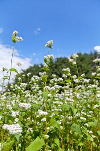 青空とそばの花の写真素材 [FYI01708782]