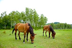 牧草を食べる木曽馬の写真素材 [FYI01708790]