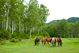 白樺林と木曽馬の写真素材 [FYI01709013]