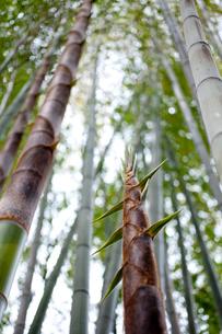 タケノコのある竹林の写真素材 [FYI01709015]