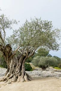老木のオリーブの写真素材 [FYI01709025]