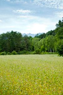 青空と林とそば畑の写真素材 [FYI01709066]