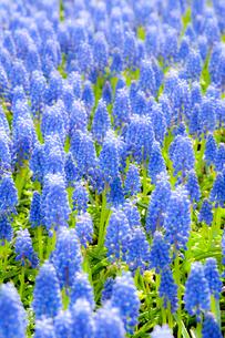 ムスカリの花畑の写真素材 [FYI01709116]