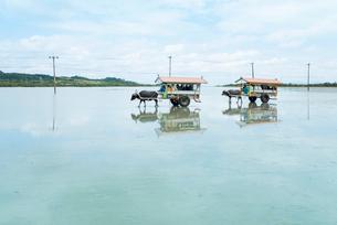 西表島と由布島間を渡る水牛車の写真素材 [FYI01709620]