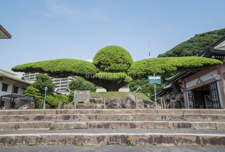 照国神社入り口にある献木されたイヌマキの木の写真素材 [FYI01709720]