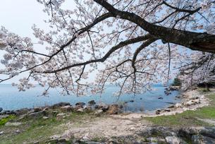 琵琶湖湖畔海津大崎の満開の桜の写真素材 [FYI01709786]