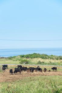 放牧された石垣牛越しに海を望むの写真素材 [FYI01709798]