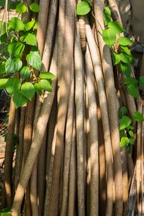 木漏れ日と蔓草が絡まるタコノキの気根の写真素材 [FYI01710231]