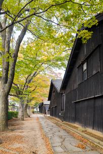 紅葉並木と列をなす山居倉庫の写真素材 [FYI01710264]