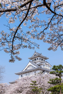 桜越しの長浜城(長浜城歴史博物館)の写真素材 [FYI01710419]