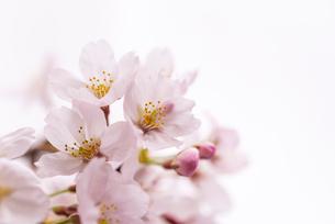 サクラの花アップの写真素材 [FYI01710422]