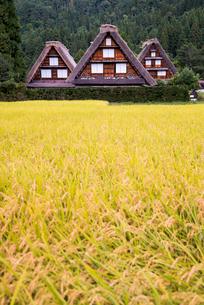 黄金色に稔った稲越しに見る三棟の合掌造りの家屋の写真素材 [FYI01710453]