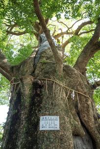 山王神社のクスノキの写真素材 [FYI01710467]