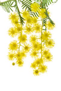 ミモザの花のアップの写真素材 [FYI01710480]