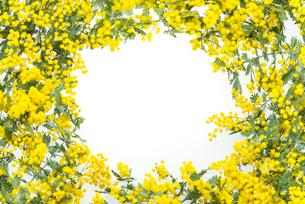 フレーム状のミモザの写真素材 [FYI01710577]