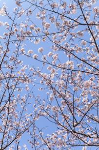 青空に重なり合う8分咲きのサクラの枝の写真素材 [FYI01710644]