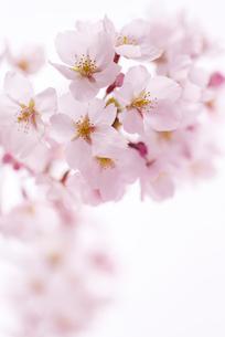 ボカシのある満開のサクラの花の写真素材 [FYI01710662]