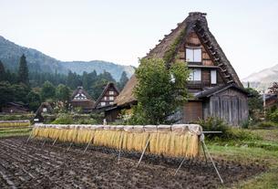 合掌造りの家屋を背景に刈り取り後の干された稲穂の写真素材 [FYI01710690]