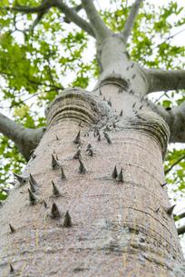 トゲのあるパンヤノキの幹の写真素材 [FYI01710739]
