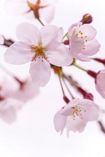 サクラの花のアップの写真素材 [FYI01710749]