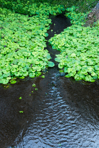 緑葉の中を流れる清流の写真素材 [FYI01710780]