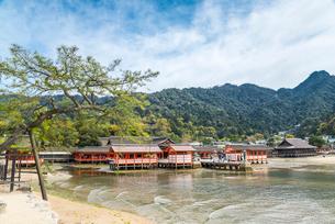 波打ち際より厳島神社全景を見るの写真素材 [FYI01710788]