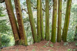 天岩戸神社東本宮の七本杉の写真素材 [FYI01710837]