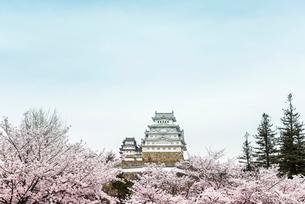 満開の桜越しに姫路城を見るの写真素材 [FYI01710899]