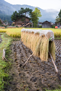 霞かかる山並みを背景に干された刈取り後の稲穂の写真素材 [FYI01710919]