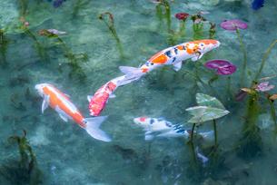 ハートマークのコイを含むニシキゴイがおよぐ通称モネの池の写真素材 [FYI01710932]