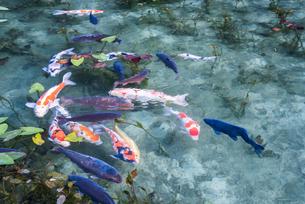 通称モネの池のニシキゴイがおよぐ風景の写真素材 [FYI01710933]