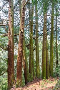天岩戸神社東本宮の七本杉の写真素材 [FYI01710942]