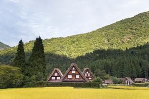 黄金色に稔った稲越しに見る三棟の合掌造りの家屋の写真素材 [FYI01710953]