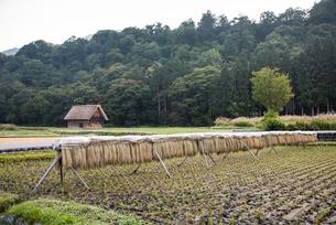 刈取られたイネを干した田園風景の写真素材 [FYI01710995]
